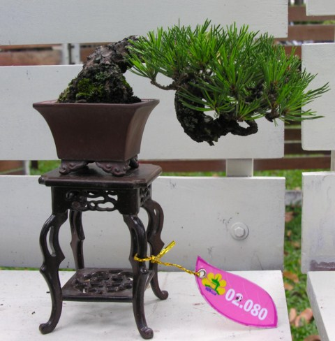 Bonsai exhibition at Spring Flower Festival (viet Nam) Japaneseblackpine