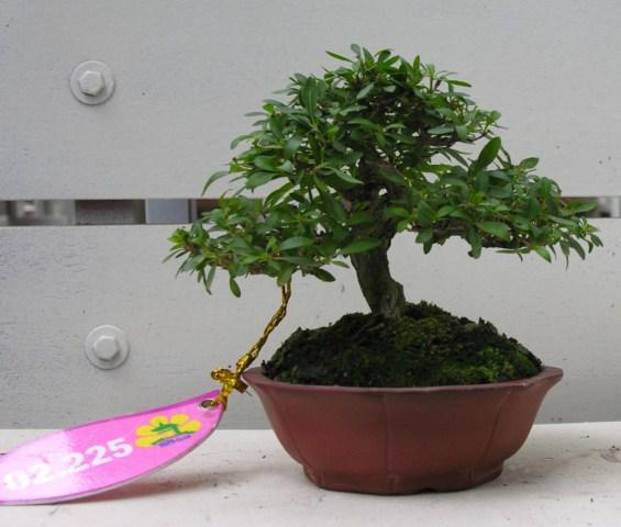 Bonsai exhibition at Spring Flower Festival (viet Nam) SerissaFoetida