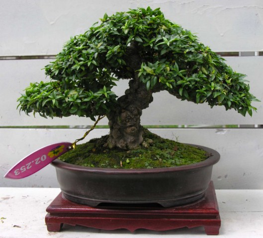 Bonsai exhibition at Spring Flower Festival (viet Nam) Wrightiareligiosa15_SH