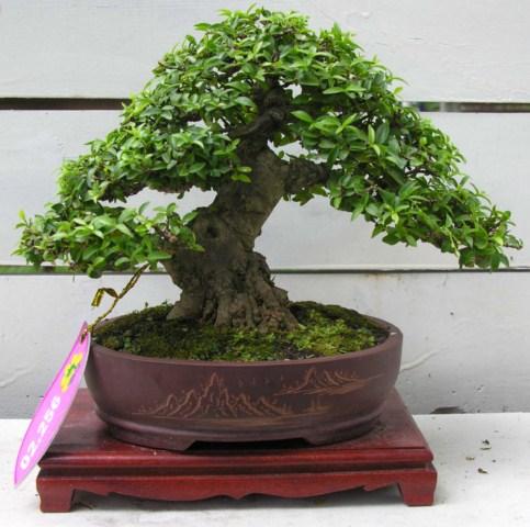 Bonsai exhibition at Spring Flower Festival (viet Nam) Wrightiareligiosa16_SH