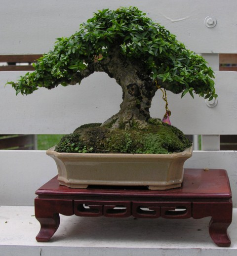 Bonsai exhibition at Spring Flower Festival (viet Nam) Wrightiareligiosa19