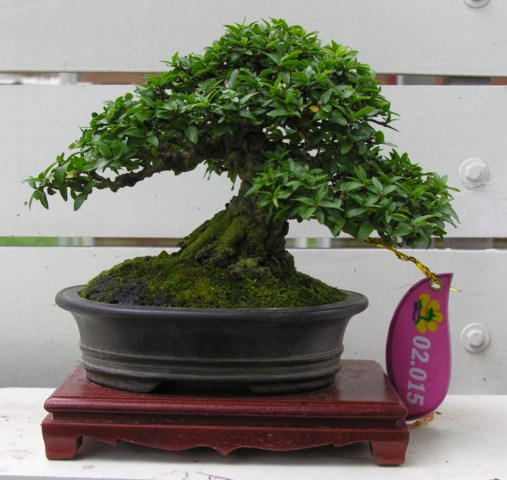 Bonsai exhibition at Spring Flower Festival (viet Nam) Wrightiareligiosa20