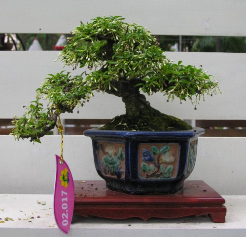 Bonsai exhibition at Spring Flower Festival (viet Nam) Wrightiareligiosa21