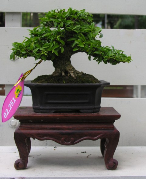 Bonsai exhibition at Spring Flower Festival (viet Nam) Wrightiareligiosa22
