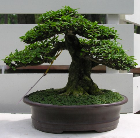 Bonsai exhibition at Spring Flower Festival (viet Nam) Wrightiareligiosa23