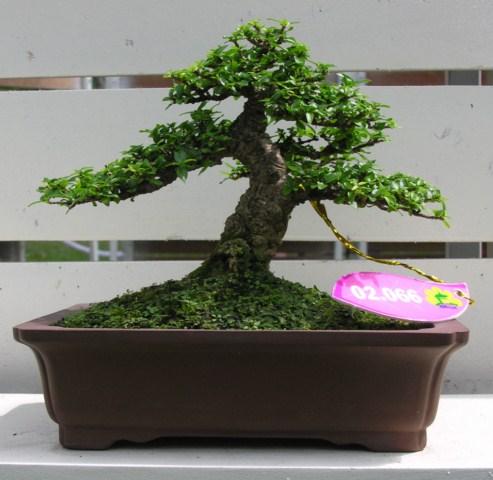 Bonsai exhibition at Spring Flower Festival (viet Nam) Wrightiareligiosa24