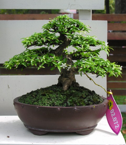 Bonsai exhibition at Spring Flower Festival (viet Nam) Wrightiareligiosa25