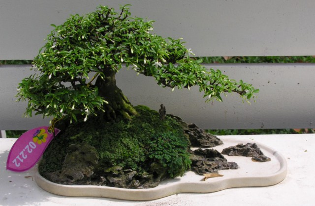 Bonsai exhibition at Spring Flower Festival (viet Nam) Wrightiareligiosa26