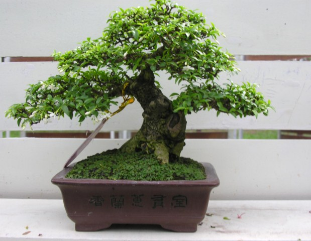 Bonsai exhibition at Spring Flower Festival (viet Nam) Wrightiareligiosa27