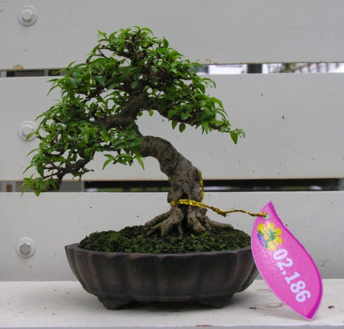Bonsai exhibition at Spring Flower Festival (viet Nam) Wrightiareligiosa28
