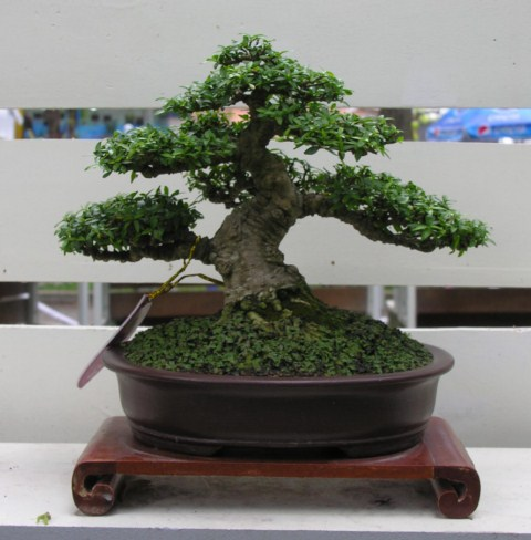 Bonsai exhibition at Spring Flower Festival (viet Nam) Wrightiareligiosa29