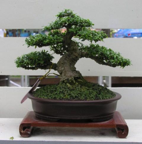 Bonsai exhibition at Spring Flower Festival (viet Nam) Wrightiareligiosa29