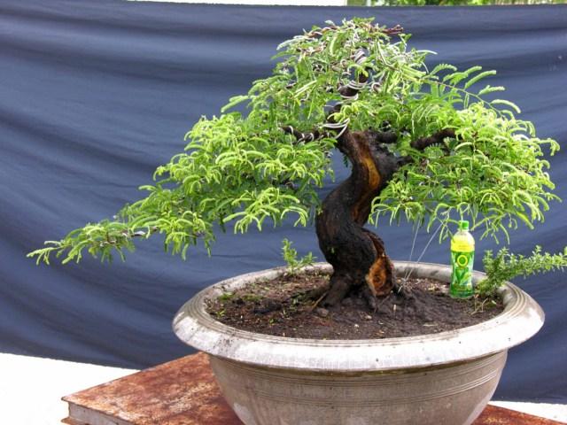 Repotting For Beautiful Tamarindus Indica