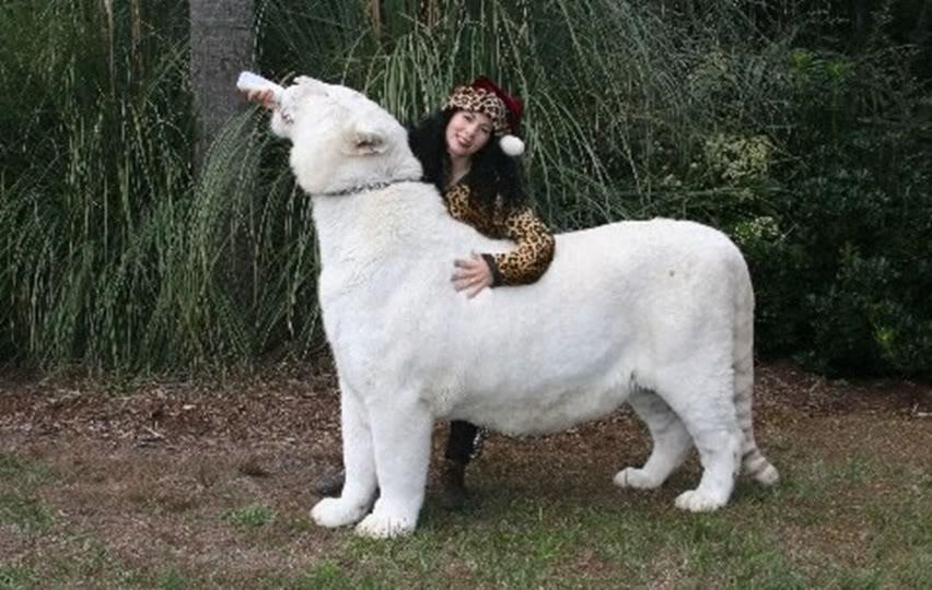 Comparação de  tamanho entre  animais  e   Seres humanos - Página 2 Snow_white_tiger