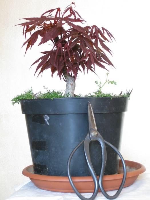Acero rosso: gestire la vegetazione? IMG_1980b