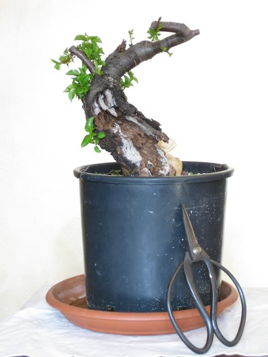 "Prunus mahaleb ""Stelo di giada"". IMG_1983"