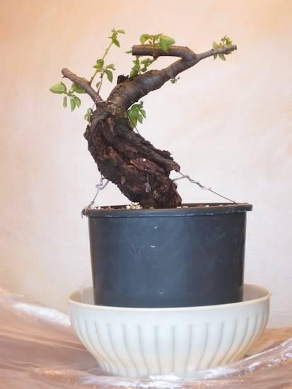 "Prunus mahaleb ""Stelo di giada"". IMG_1749b"