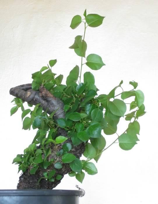 "Prunus mahaleb ""Stelo di giada"". IMG_2011c"