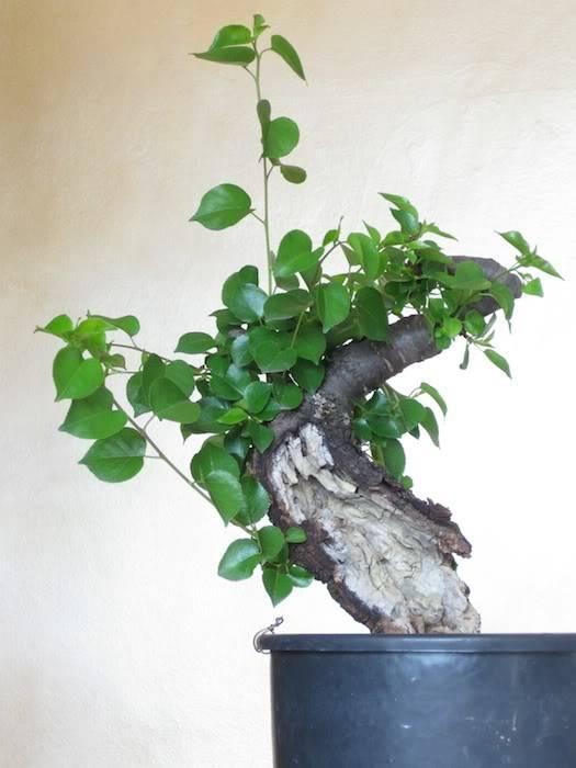 "Prunus mahaleb ""Stelo di giada"". IMG_2012b"