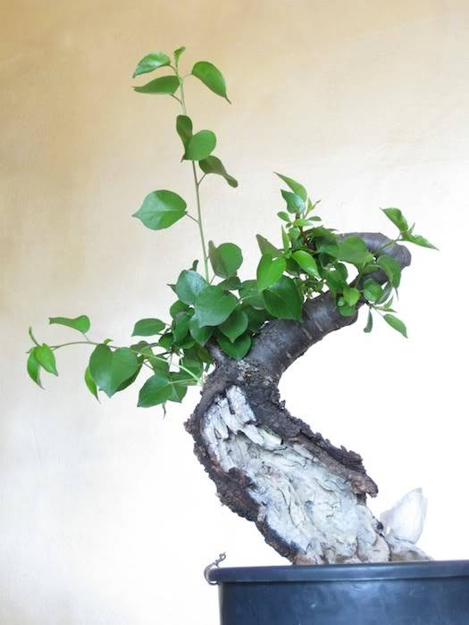 "Prunus mahaleb ""Stelo di giada"". IMG_2015b"