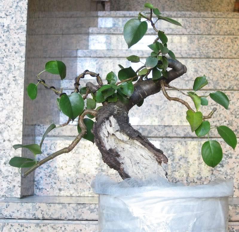 "Prunus mahaleb ""Stelo di giada"". IMG_2834b"