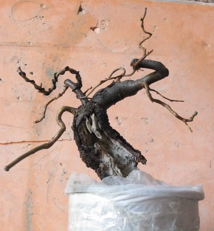 "Prunus mahaleb ""Stelo di giada"". IMG_2835b"