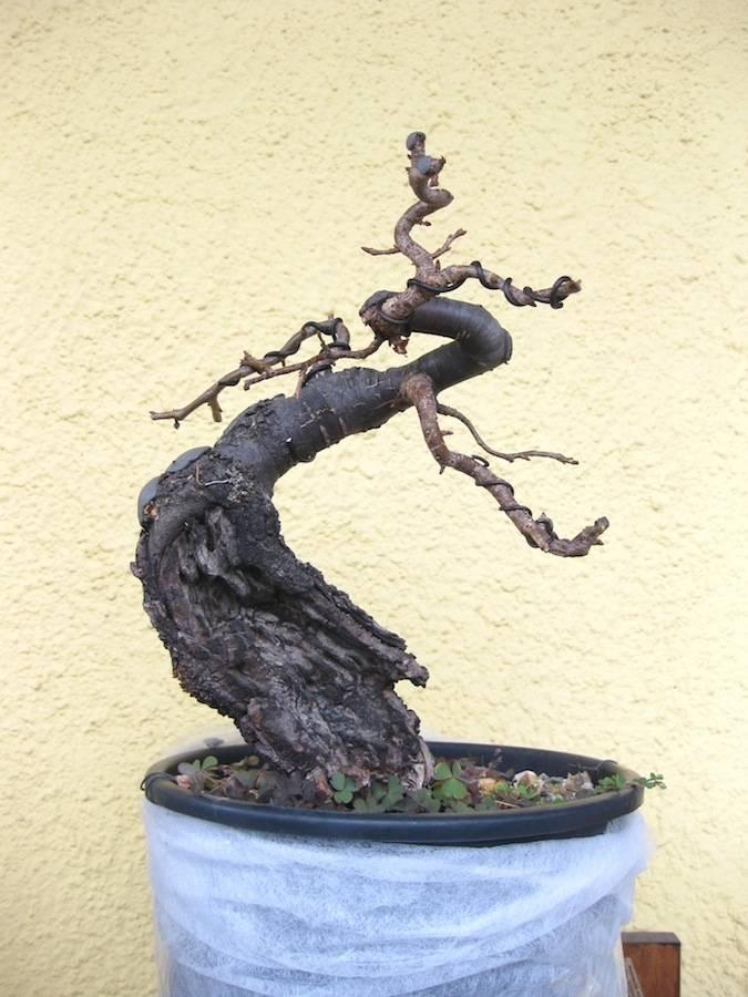 """Prunus mahaleb """"Stelo di giada"""". - Pagina 4 IMG_4056b"""