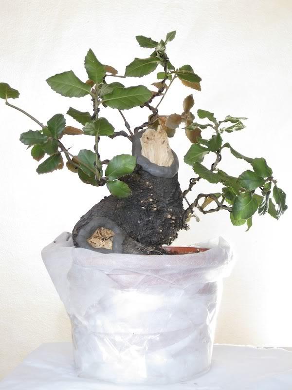 """Quercus ilex """"Vulcano"""". - Pagina 2 IMG_2929"""