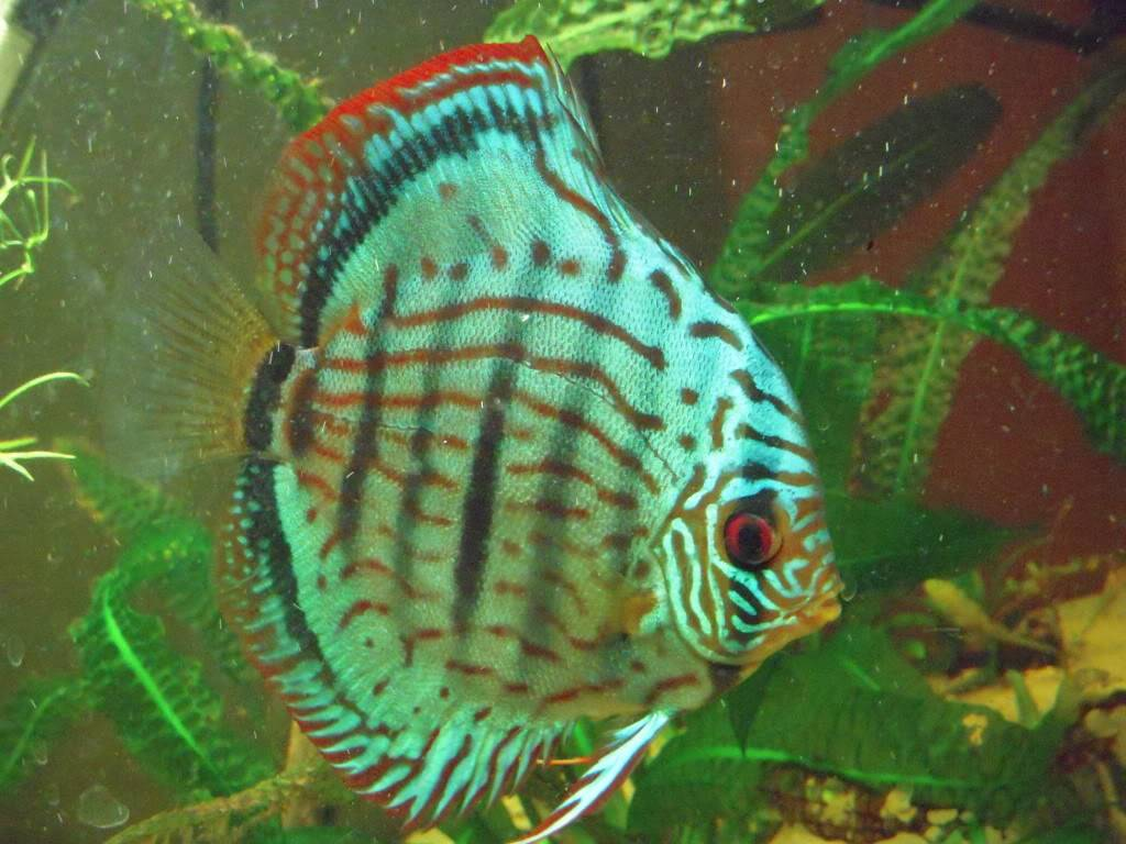 miracle discus DSCN3707