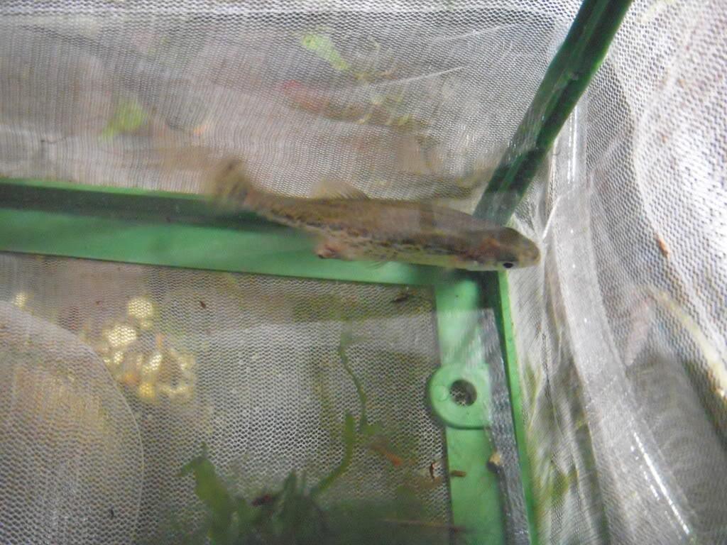 Butterfly Goodeid fry! DSCN5601