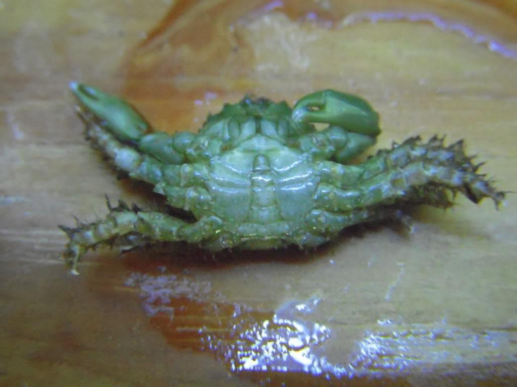 Emerald crab molting DSCN6450