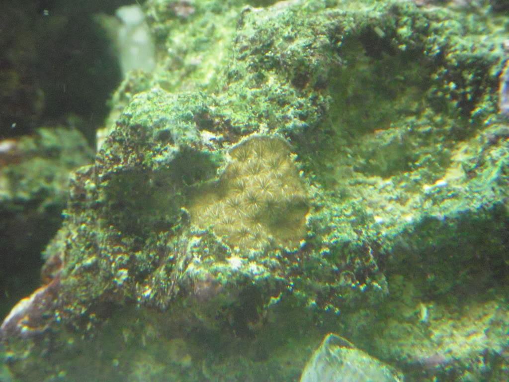 Coral ID DSCN7245