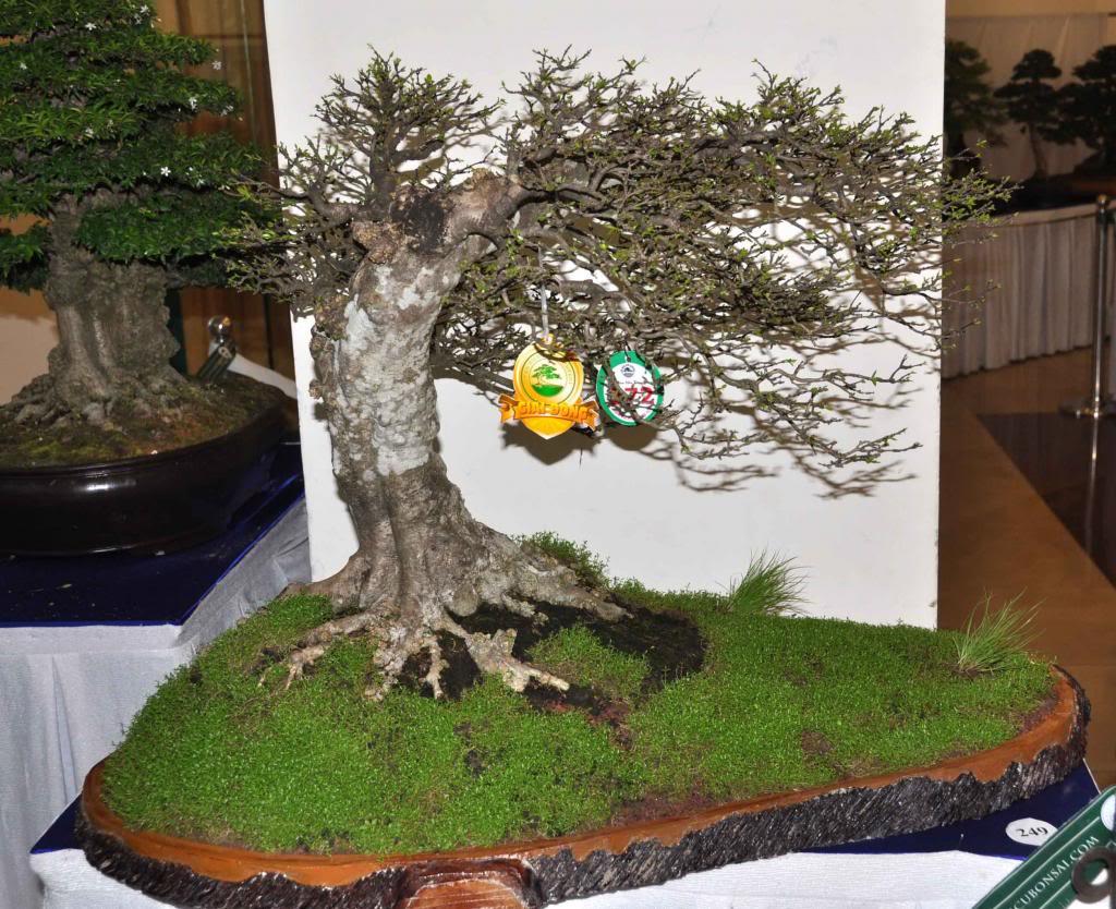Vietnam International bonsai show - Page 3 Dt_zps7747b4d0