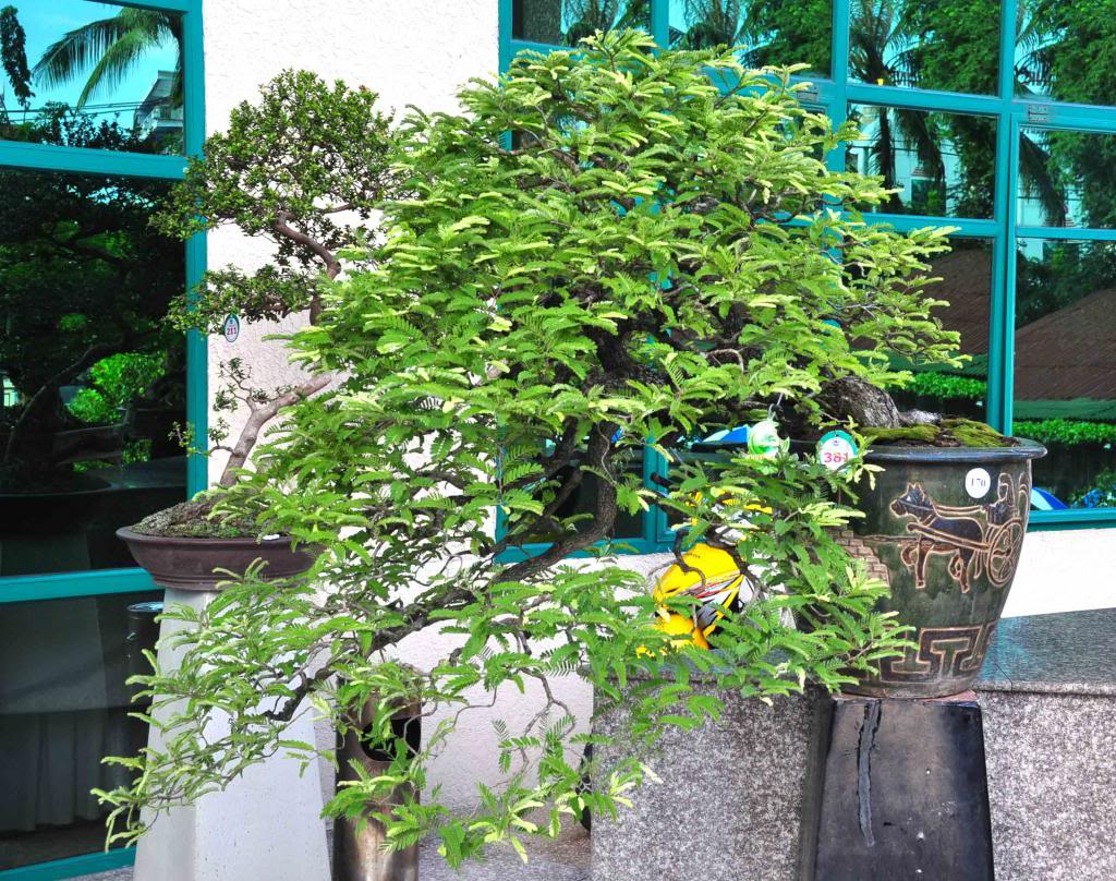 Vietnam International bonsai show - Page 3 Kkd_zps292b6df0