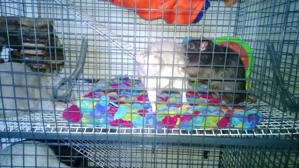 Rats for Adoption Temporary_zps6b08a343