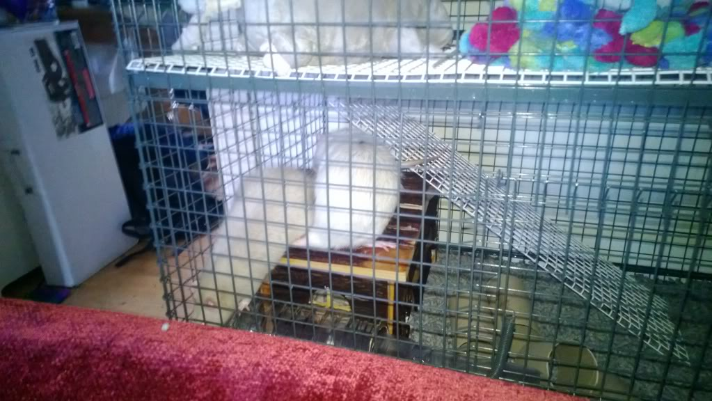 Rats for Adoption Temporary_zps991aa448