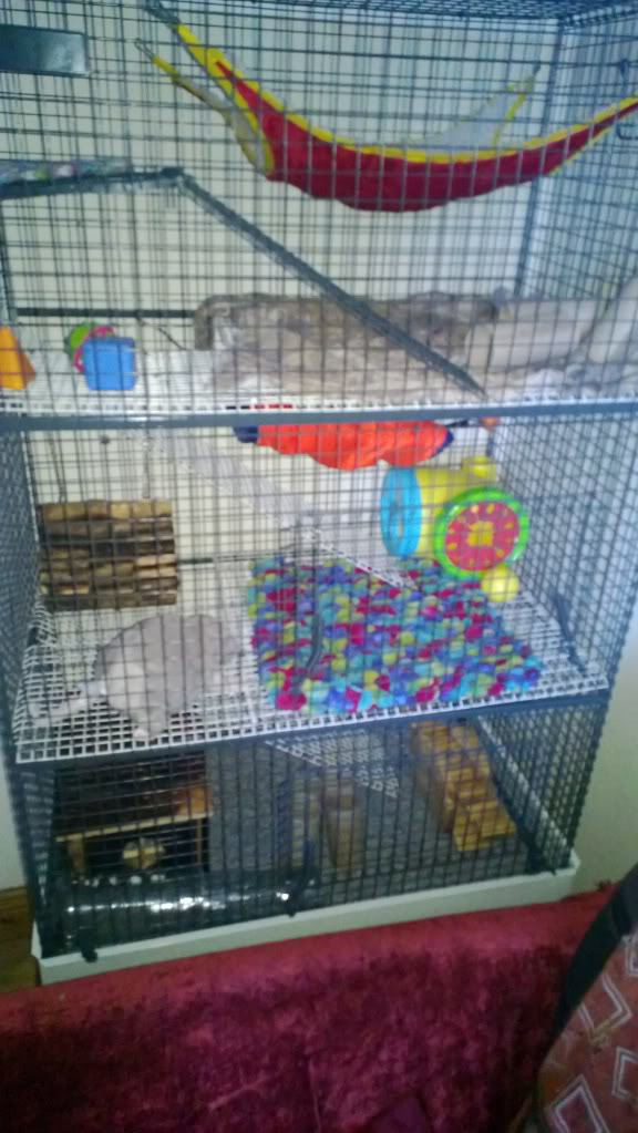 Rats for Adoption Temporary_zpsb7bc50fc
