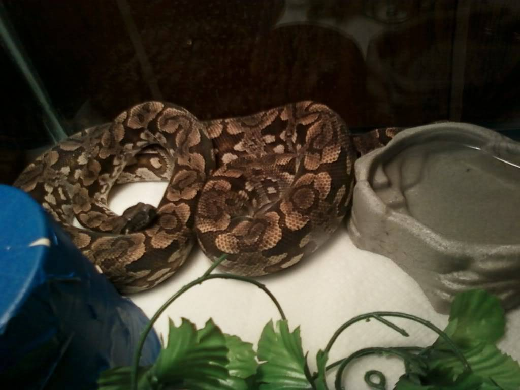 My dumerils boa!! Photo0252