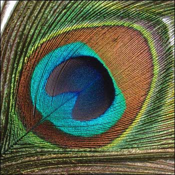 ريش الطاوس الفائق الجمال _peacock_feathers_big