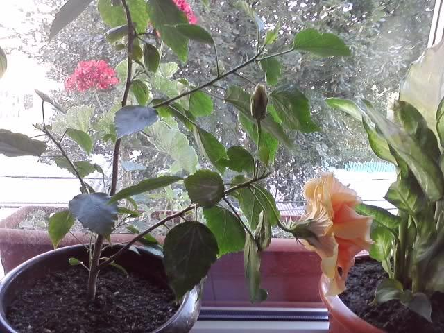 Trandafir japonez P160811_0803