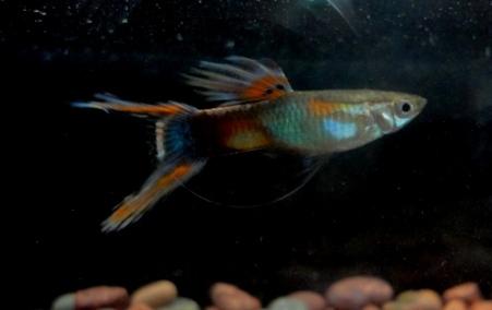 Lira rojo X blue moscow wild Dobleespada-newcreacion