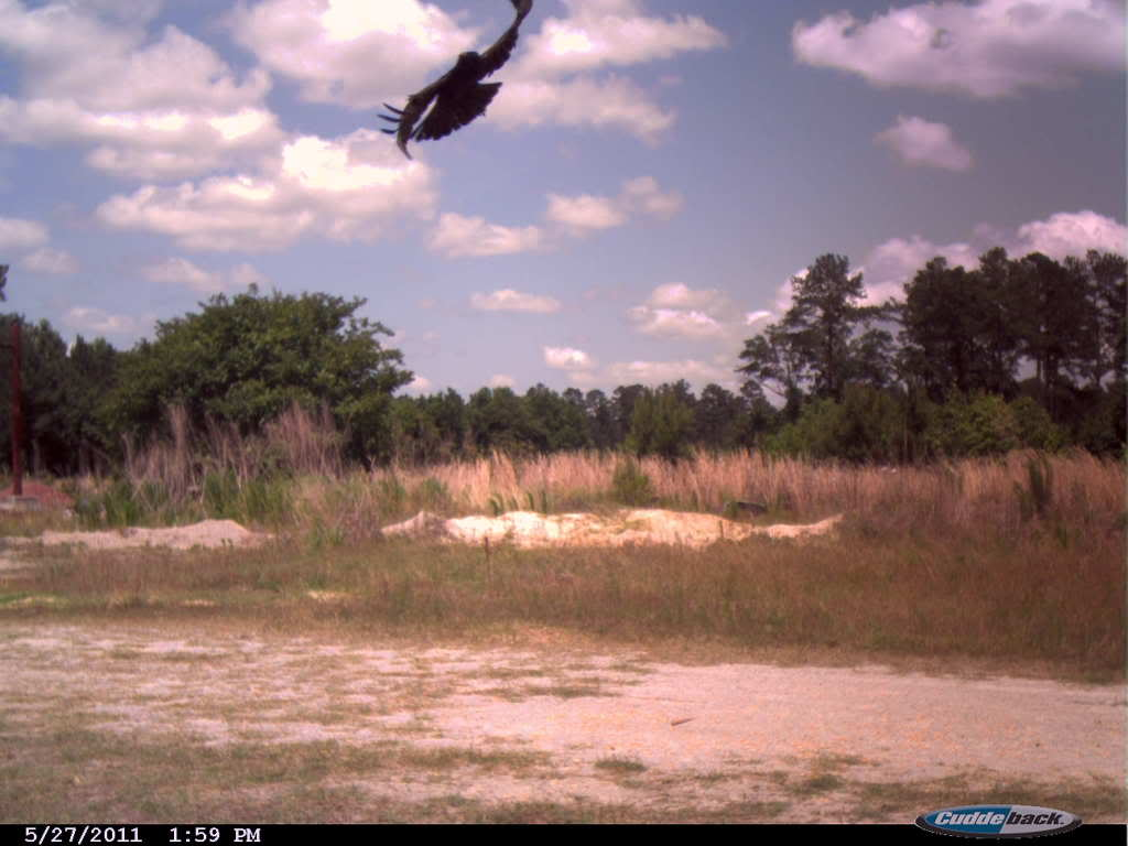 Cuddeback Crow Picture PowellFarmCrow