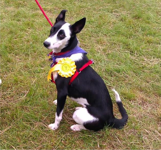 Bronte approx I yr old Collie X fostered by Four Paws Animal Rescue (South Wales) IMAG0163