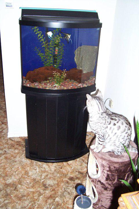 Stubborn cat, 'fishing' in fish tank, solution. Facebook-20140813-221757_zpsb3778018