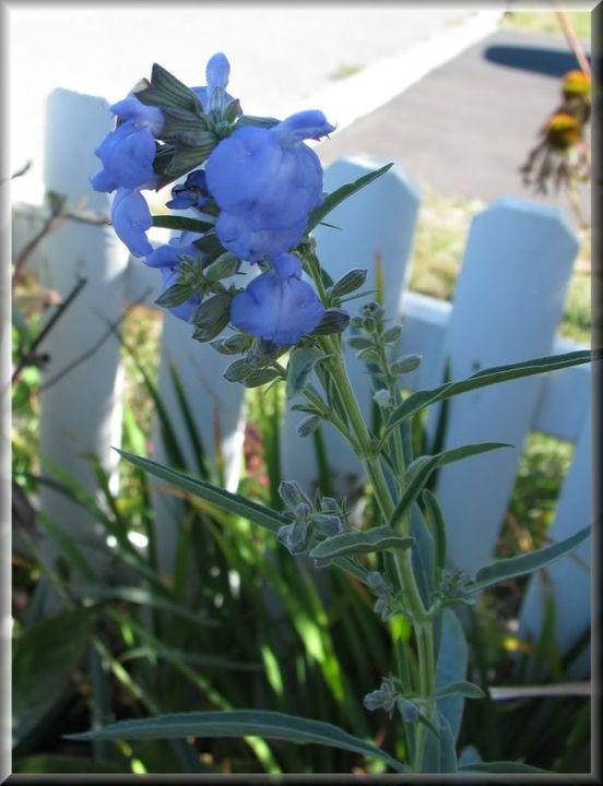Salvia Azurea 22septembre09006