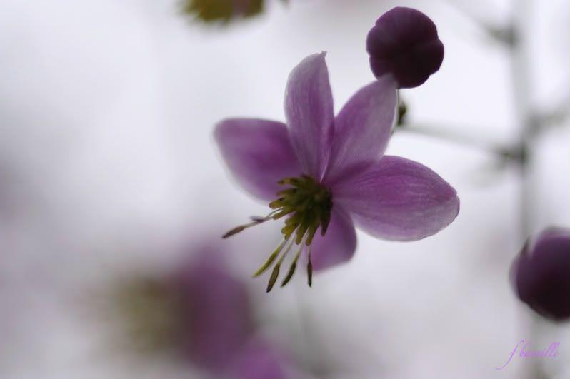 Thalictrum Lavender Mist IMG_7706