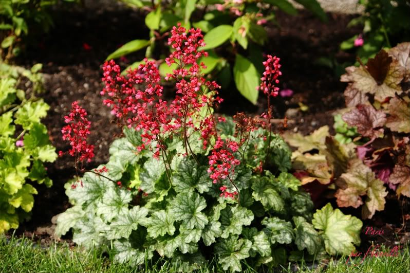 Heuchera Paris IMG_8206