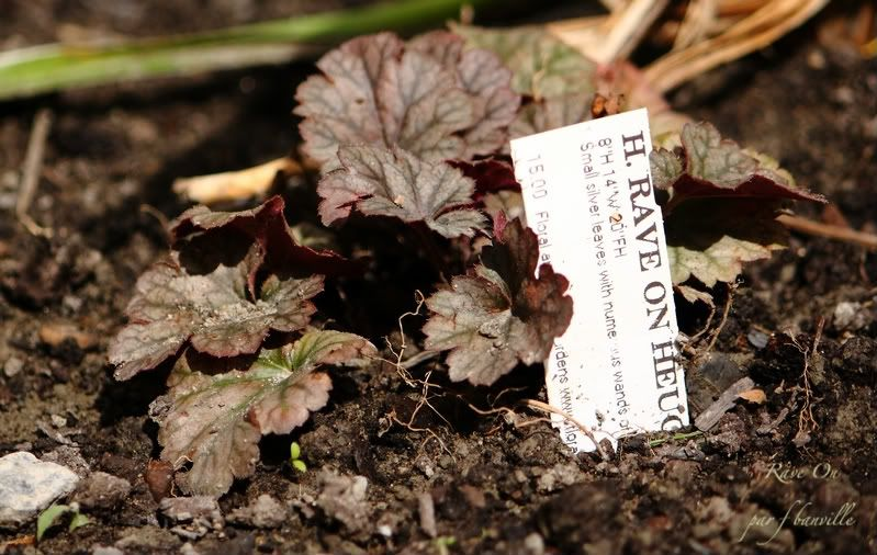 Heuchera Rave On IMG_8226