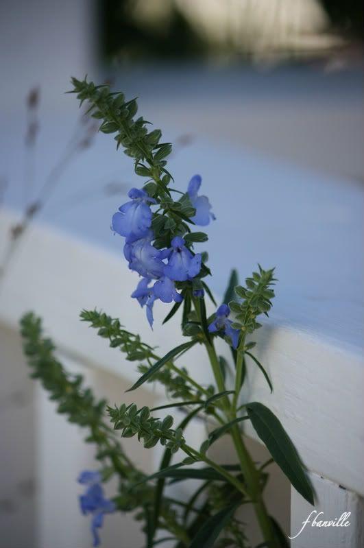 Salvia Azurea IMG_8435