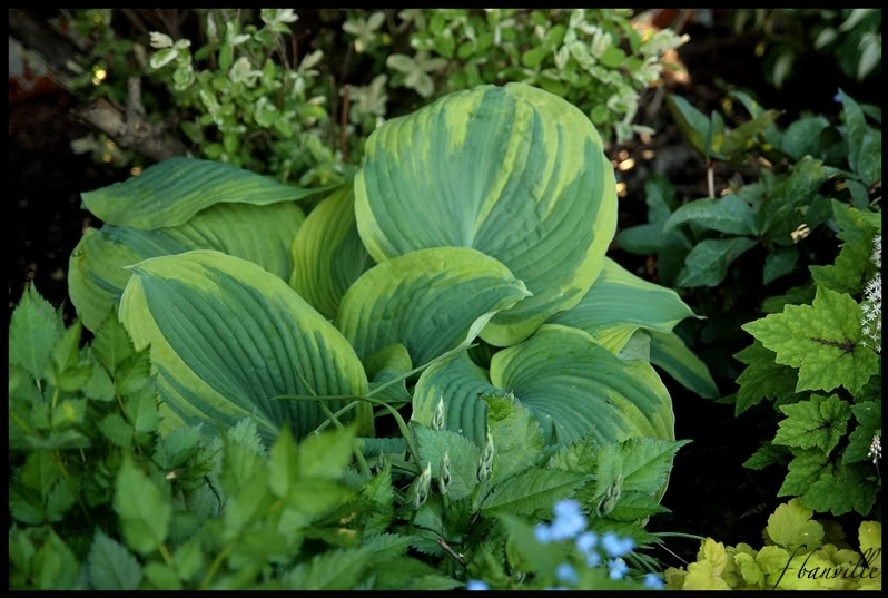 Hosta Earth Angel, le hosta de l'année 2009 IMG_4149